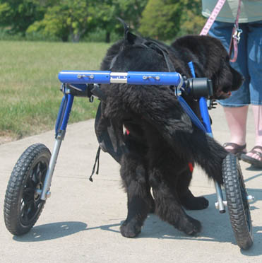 Maddie Road to Recovery in Walkin' Wheels Wheelchair